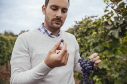Man in a vineyard examiming grapes